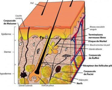 Biologie de la peau